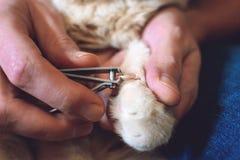 Dlaczego Żyłować kotów pazury Ð ¡ ats pazura opieka, żyłuje Ręka nożyc pazury w mężczyzna ręce i Szkockim fałdu kocie, lekarka sh fotografia royalty free