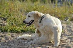Dlaczego ochraniać zwierzęcia domowego od pchieł lądzieniec w lato okresie tła psi szary labradora szczeniaka tyły aporteru widok obraz stock