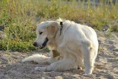 Dlaczego ochraniać zwierzęcia domowego od pchieł lądzieniec w lato okresie tła psi szary labradora szczeniaka tyły aporteru widok zdjęcie stock