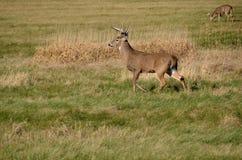 Dólar de los ciervos de Whitetail Fotos de archivo