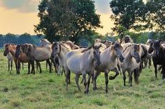 Dülmener Horses Stock Images