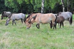 Dülmener wild horses Royalty Free Stock Photo