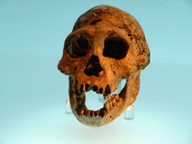 Dmanisi skull Stock Photography