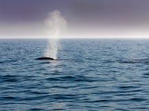 dmucha błękitny wieloryba Zdjęcie Royalty Free