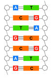 DNA. Genetic information written in DNA double helix structure with base pairs: Adenine, Thymine, Cytosine and Guanine Stock Photos