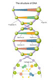 DNA. Illustration of the structure of DNA Stock Photo