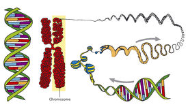 DNA. The composition of DNA and the formation of chromosomes Stock Photos