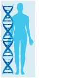 DNA en menselijk lichaam Stock Afbeeldingen