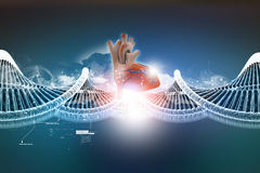 Dna model with human heart Stock Photos