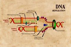 DNA Replication Schematics Stock Photo