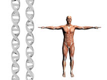 DNA Strand, Muscular Man. Stock Photo
