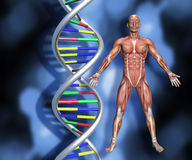 DNA strands with 3D male figure with muscle map. Colourful DNA strands on abstract background with a 3D male medical figure with muscle map Stock Images