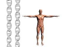 DNA-Strang, muskulöser Mann. Stockfoto