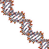 DNA structure, B-DNA form. Royalty Free Stock Photos