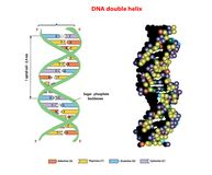DNA structure double helix in 3D on white background. Nucleotide, Phosphate. education  info graphic. Aden. DNA structure double helix in 3D on white background Stock Photography