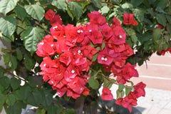 Dni kwiaty Fotografia Royalty Free