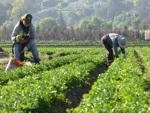 Dni laborers w polach Carpinteria w Ventura okręgu administracyjnym, Kalifornia fotografia stock
