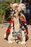 dni wielbłądów Zdjęcie Royalty Free