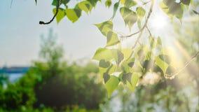 Dnia światło w brzozy drzewa parku z srogimi cieniami Obrazy Stock