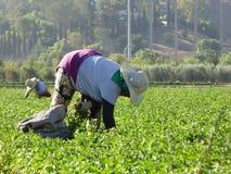 Dnia laborer w polach Carpinteria w Ventura okręgu administracyjnym, Kalifornia Fotografia Royalty Free