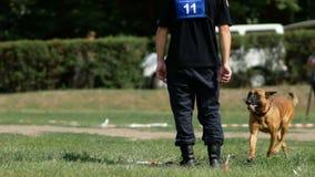 Dnipro, Ucrania 7 de agosto de 2018: El pastor belga ejecuta comandos en el campeonato nacional 3d del nacional canino almacen de video