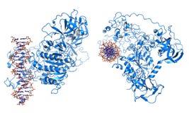 Methyltransferase del DNA Immagini Stock Libere da Diritti