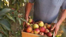 Doświadczony rolnik trzyma pudełko z żniwem czerwoni jabłka W górę, świeża owoc, silne ręki, praca na ziemi zbiory