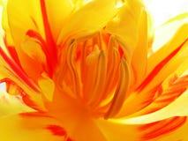 do środka 2 tulipan obraz royalty free