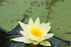 Do amarelo lótus brancos waterlily Fotografia de Stock