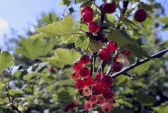Do arbusto saudável natural fresco vermelho do ramo da planta verde dos corintos do azevinho de Rowan do outono da natureza do fr Imagens de Stock Royalty Free