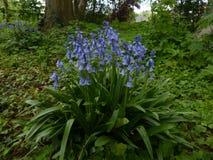 Do azul flores lilly Foto de Stock