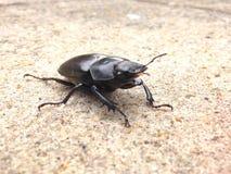 Do besouro fim acima Fotos de Stock