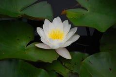 Do branco flor lilly Fotografia de Stock Royalty Free