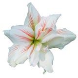Do branco flor lilly no branco isolado Foto de Stock