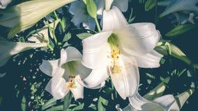 Do branco jardim lilly imagem de stock