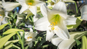 Do branco jardim lilly fotografia de stock royalty free