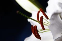 Do branco macro lilly no fundo azul do inclinação Fotografia de Stock Royalty Free