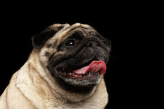 Do cão feliz do Pug do close up vista curiosa acima, fundo preto Foto de Stock