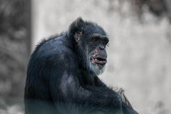 Do chimpanzé do retrato fim preto acima imagens de stock royalty free