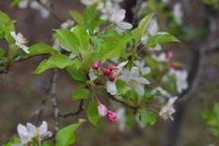 Do ` Crabby da beleza do ` o crabapple pastel delicado floresce no chuveiro de chuva da mola foto de stock royalty free