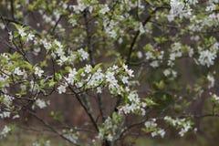 Do ` Crabby da beleza do ` o crabapple pastel delicado floresce no chuveiro de chuva da mola fotografia de stock royalty free