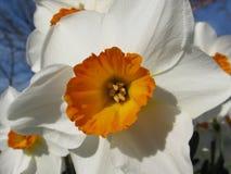 Do Daffodil fim acima Foto de Stock Royalty Free