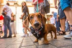 22do desfile del perro basset de la publicación anual en la plaza del mercado principal Foto de archivo