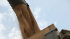 Do eixo helicoidal o tubo da liga derramou o trigo em um caminhão filme