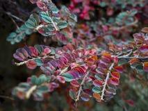 Do firethorn escarlate da planta do arbusto Plantas alaranjado-coloridas pequenas do arbusto do fruto, ramos e folhas vermelhas fotos de stock
