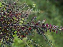 Do firethorn escarlate da planta do arbusto Plantas, ramos e folhas alaranjado-coloridos pequenos do arbusto do fruto fotos de stock royalty free
