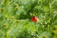 Do Góry Nogami kwiat Fotografia Royalty Free