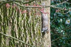 Do góry nogami Popielata wiewiórka obraz stock