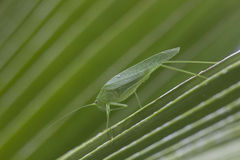 Do gigante de Katydid funil verde equipado com pernas da grama da folha por muito tempo Foto de Stock