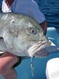 Do gigante peixes travelly Fotos de Stock Royalty Free